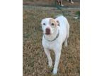 Adopt Chance a White - with Brown or Chocolate American Staffordshire Terrier /