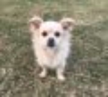 Tabitha Pekingese - Tibetan Spaniel Dog