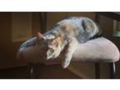 Adopt Yuki a Calico or Dilute Calico Calico / Mixed cat in Union City