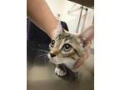 Adopt Ipo a Gray or Blue Domestic Shorthair / Domestic Shorthair / Mixed cat in