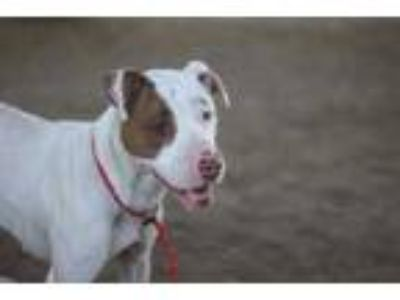 Adopt Demetra a White American Pit Bull Terrier / Mixed dog in Philadelphia