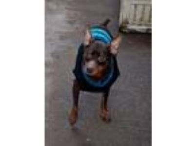 Adopt Ted a Black - with Tan, Yellow or Fawn Miniature Pinscher / Mixed dog in