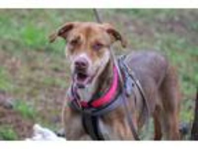 Adopt Sparkle a Brown/Chocolate - with Black Great Dane / Hound (Unknown Type) /