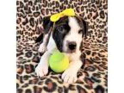 Adopt Storm (X-Men Litter, Gray) a Border Collie, Labrador Retriever