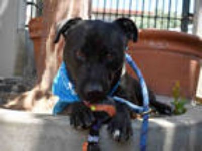 Adopt CUB a Black - with White Labrador Retriever / American Pit Bull Terrier /