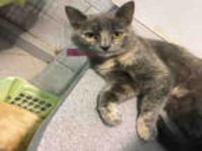 Adopt SIMO a Brown or Chocolate (Mostly) Domestic Shorthair / Mixed (short coat)