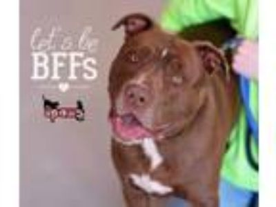 Adopt Charlie a American Staffordshire Terrier