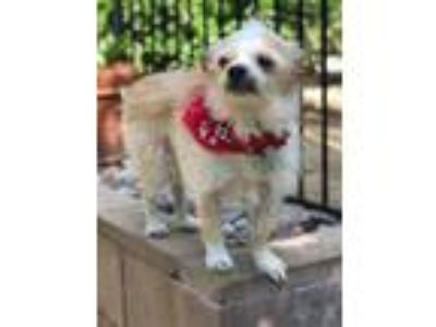 Adopt Chuckie a Tan/Yellow/Fawn - with White Terrier (Unknown Type