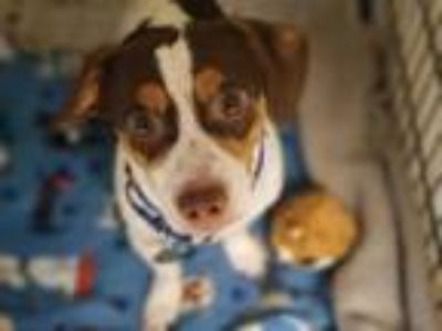 Adopt Tyler a Brown/Chocolate Jack Russell Terrier / Mixed dog in Altoona