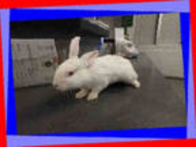 Adopt MARSHMALLOW a White New Zealand / Mixed rabbit in Los Angeles