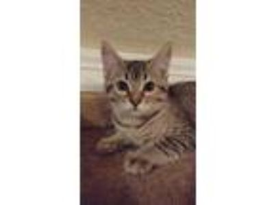 Adopt Spud a Brown or Chocolate American Shorthair / Domestic Shorthair / Mixed