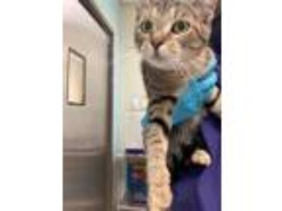Adopt Lady a Domestic Short Hair