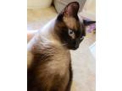 Adopt Mr. Darcy a Brown or Chocolate (Mostly) Domestic Mediumhair / Mixed cat in
