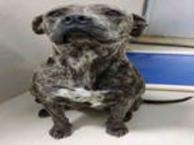 Adopt LUNA a Brindle American Pit Bull Terrier / Mixed dog in Bakersfield