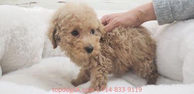 Maltipoo Puppy - Male - Doritos ($1,499)