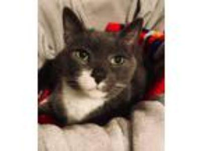 Adopt Sampsen a Gray, Blue or Silver Tabby Domestic Mediumhair cat in Camp Hill