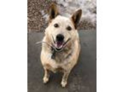 Adopt Fox a Australian Cattle Dog / Blue Heeler