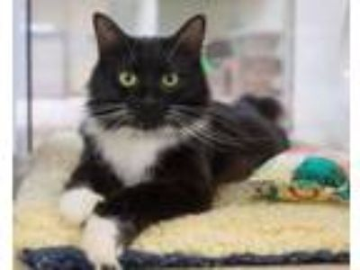 Adopt FERN a Domestic Medium Hair