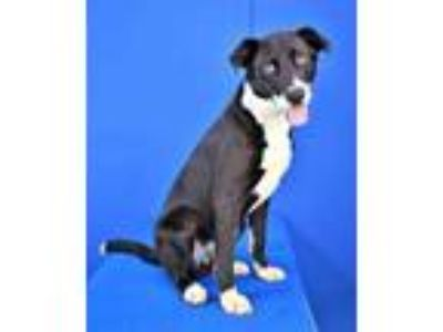Adopt (found) Herbert a Black Border Collie / Mixed dog in Cabot, AR (25593590)