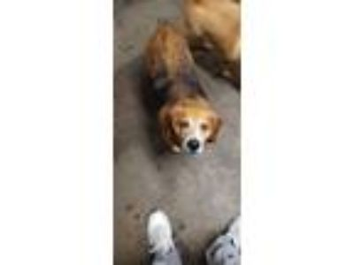 Adopt Bowagaurd a White - with Red, Golden, Orange or Chestnut Beagle / Mixed