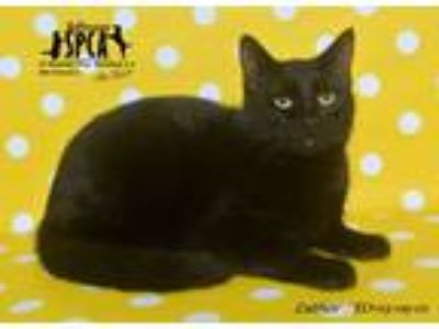 Adopt Luther a Domestic Short Hair