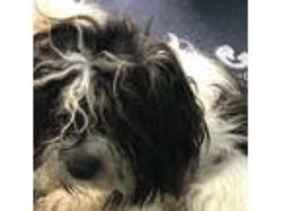Adopt Shoelace a Poodle (Miniature) / Mixed dog in Birdsboro, PA (25804676)
