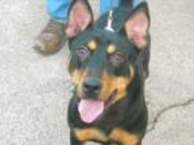 Adopt Rika a German Shepherd Dog, Miniature Pinscher