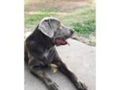 Adopt River a Gray/Blue/Silver/Salt & Pepper Labrador Retriever dog in Navasota