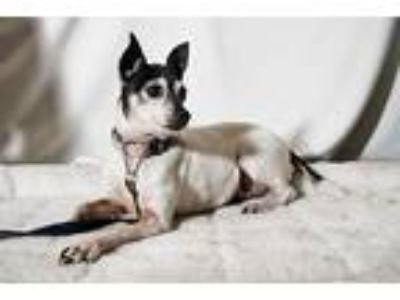 Adopt Tinker a White - with Brown or Chocolate Toy Fox Terrier / Terrier