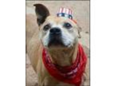 Adopt Petey a Tan/Yellow/Fawn - with White American Pit Bull Terrier / Boxer /