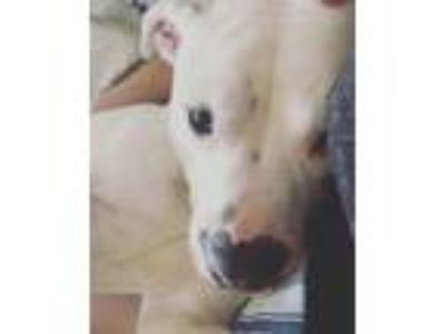 Adopt Romeo a White American Pit Bull Terrier / Boxer / Mixed dog in Port