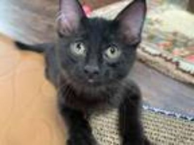 Adopt Jaden a Black (Mostly) Domestic Mediumhair (medium coat) cat in Sullivan