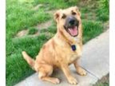 Adopt Cuddles a Shepherd, Golden Retriever