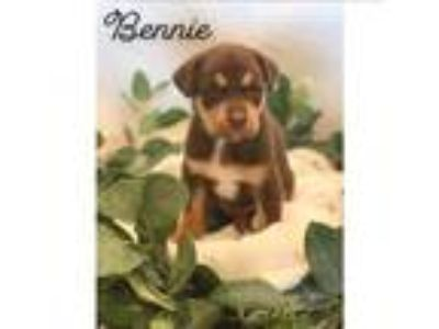Adopt Bennie a Brown/Chocolate - with Tan Catahoula Leopard Dog / Mixed dog in