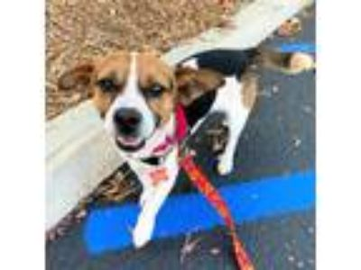 Adopt Buster a Jack Russell Terrier / Beagle / Mixed dog in San Juan Capistrano
