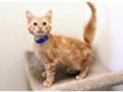 Adopt Jerry a Orange or Red Domestic Longhair / Domestic Shorthair / Mixed cat