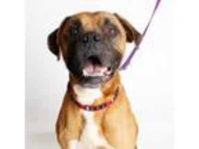 Adopt Hooch a Brown/Chocolate Boxer / Mixed dog in Richmond, VA (19550606)