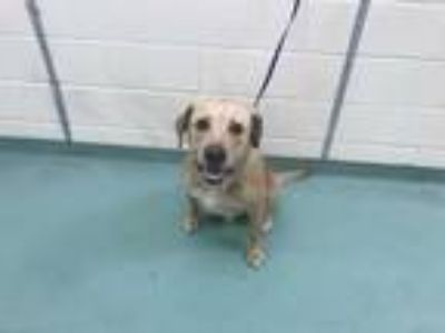 Adopt VINNY a Tan/Yellow/Fawn - with White Mixed Breed (Medium) / Mixed dog in