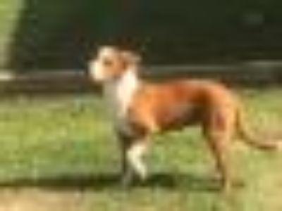 A086746 Labrador Retriever - Mixed Breed Dog