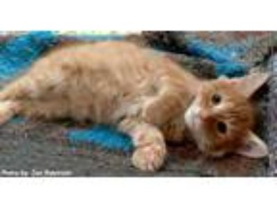 Adopt Dundee a Orange or Red (Mostly) Maine Coon / Mixed (long coat) cat in Oak