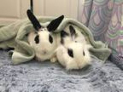 Adopt Egg and Worm a Black Lionhead / Mixed (short coat) rabbit in Waynesboro