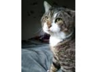 Adopt Oscar the Cat a Domestic Short Hair