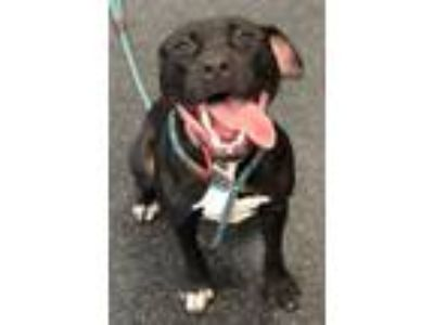Adopt Raven a Staffordshire Bull Terrier