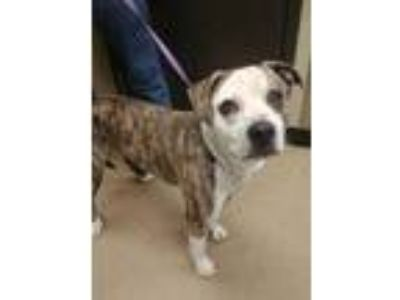 Adopt Gooney a White American Pit Bull Terrier / Mixed dog in Corvallis