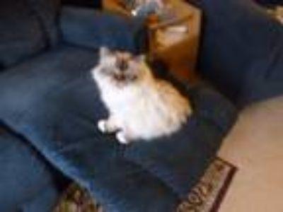 Adopt Daisy a White (Mostly) Birman / Mixed cat in Olympia, WA (23638598)