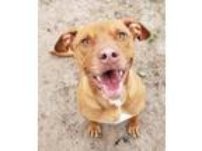 Adopt Comet a Red/Golden/Orange/Chestnut Pit Bull Terrier / Mixed dog in Boston