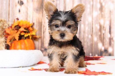 Yorkshire Terrier PUPPY FOR SALE ADN-98785 - Riley Precious Little Female Yorkie Puppy