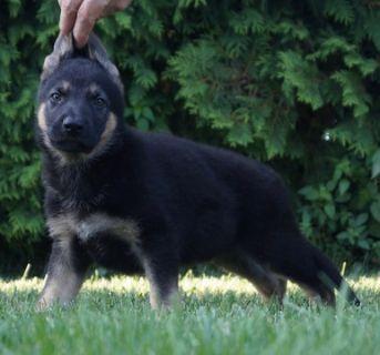 German Shepherd Dog PUPPY FOR SALE ADN-95680 - Amazing AKC German  Shepherd Puppies