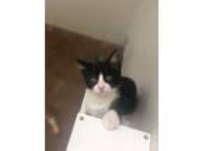 Adopt Cypress a Domestic Short Hair, Tuxedo