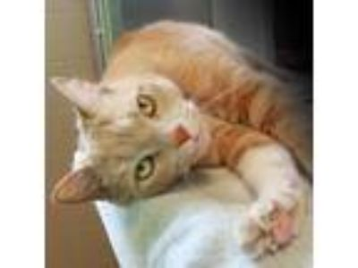 Adopt Snickers a Tan or Fawn Domestic Mediumhair / Domestic Shorthair / Mixed
